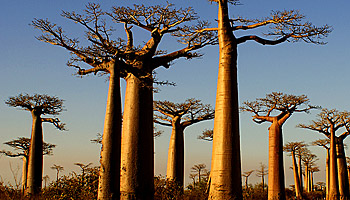Schon gigantisch: Die Allee der Baobabs © O.N.T. de Madagascar