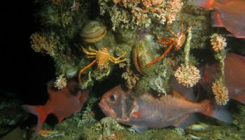 Die Steinkorallen Lophelia pertusa und Madrepora oculata auf einem Korallenhügel vor Mauretanien. Die Riffe, von diesen Steinkorallen gebaut, dienen Fischen, Krebsen, Muscheln und vielen anderen Bewohnern als Lebensraum. © Tomas Lundälv